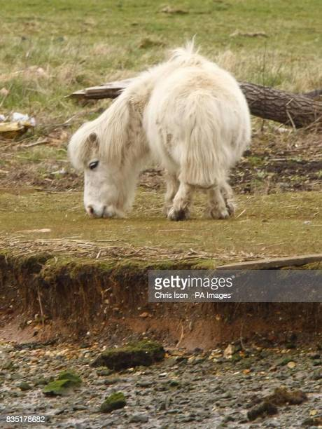 Mayflower a grey Shetland pony grazes near to salt marshes by the River Test Southampton Hants