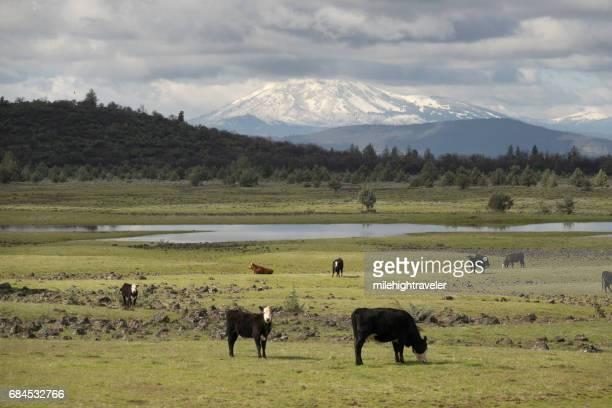 McArthur California grazing cows Crater Peak volcano Lassen National Forest