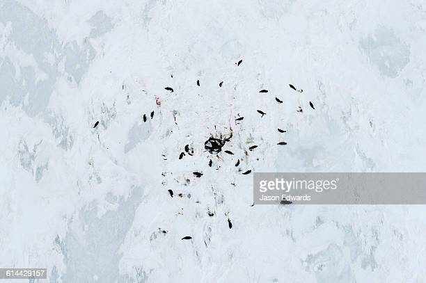 A colony of Weddell Seal resting around a hole on the sea ice.
