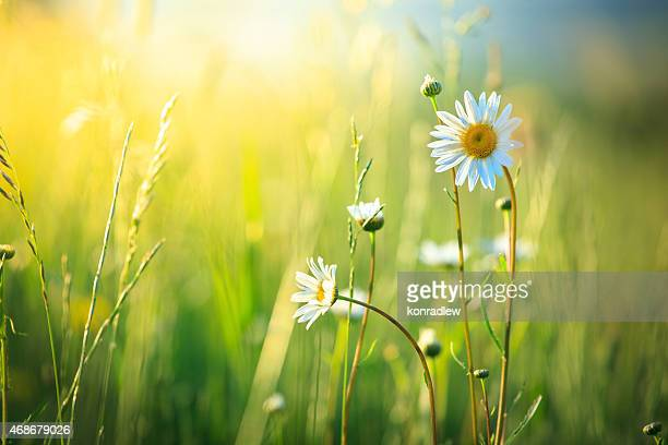 Meadow and spring Daisy Flowers on out of focus background