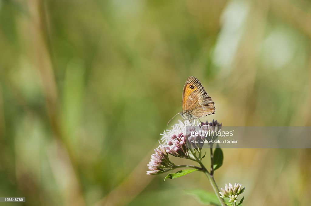 Meadow brown butterfly gathering pollen on flowers : Stock Photo