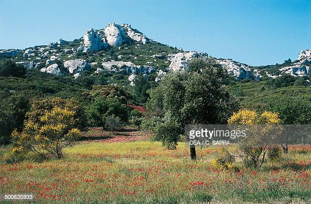 Meadow full of flowers and rock formations near Les BauxdeProvence ProvenceAlpesCote d'Azur France