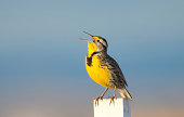 Meadow Lark singing pretty in Golden Light, with blue sky background.