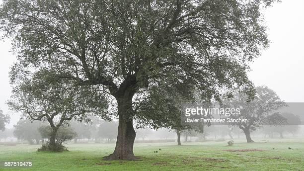A meadow of cork oaks in the fog.