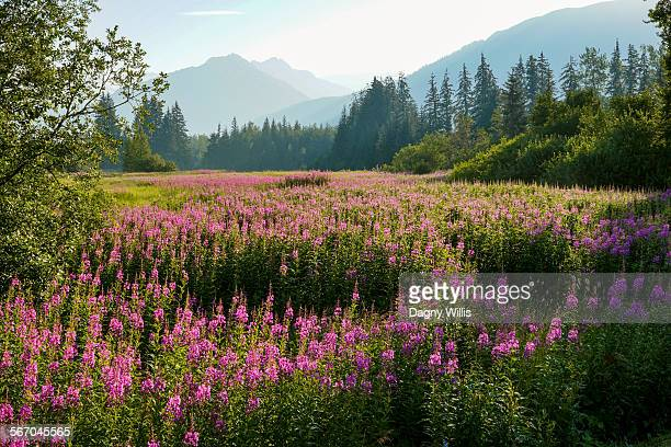 Meadow of fireweed wildflowers in Alaska