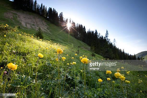 meadow von globeflower in-Hintergrundbeleuchtung