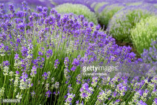 Meadow of lavender. Nature composition. Selective focus : Stock Photo