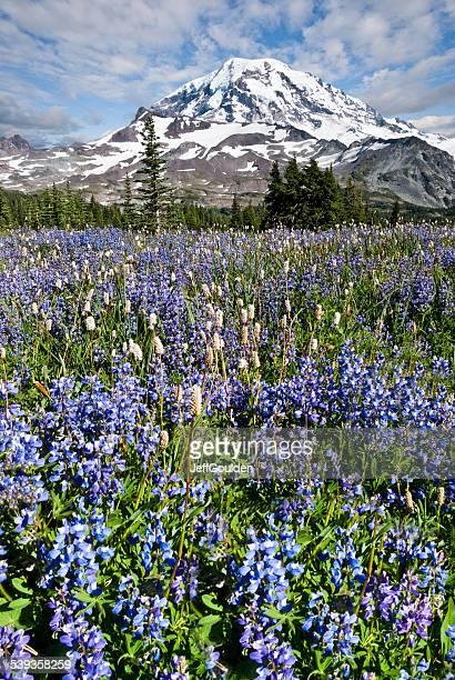 Meadow of Lupine Near Mount Rainier
