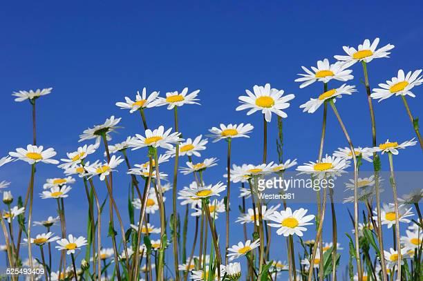 Meadow of Ox-eye daisies, Leucanthemum vulgaren, in front of blue sky
