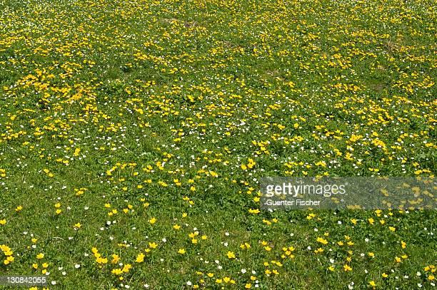 Meadow of yellow marsh marigold Caltha palustris)