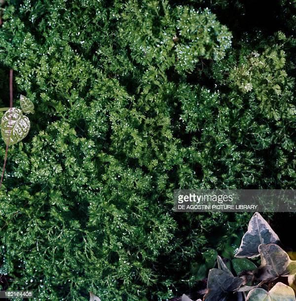 Meadow Spike Moss Selaginellaceae