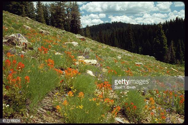 Meadow Wildflowers in Bear River Range
