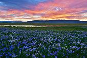 Meadow with blooming Iris flowers, Khakassia republic.