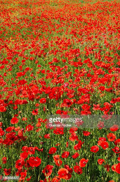 Meadow with blooming poppies (Papaver rhoeas) in Rivière sur Tarn, Departement Aveyron, France, Europe