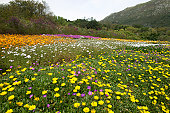 Meadow with daisies, Kirstenbosch, Cape Town, Western Cape, South Africa