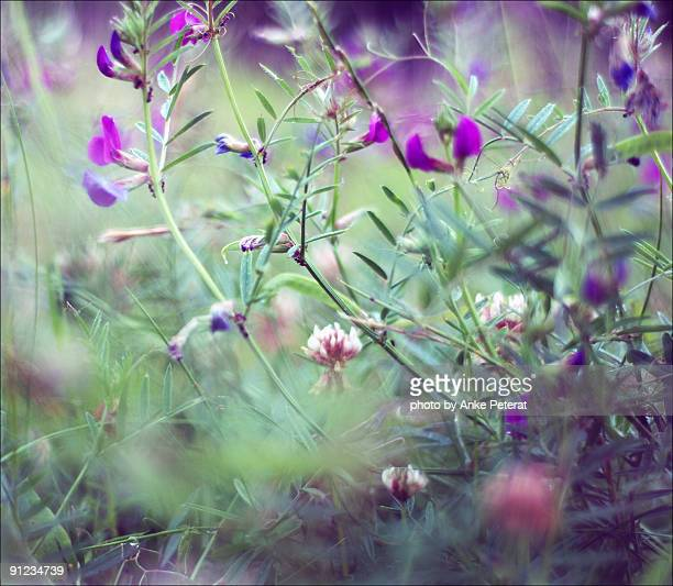 meadow with lilac vicia and clover