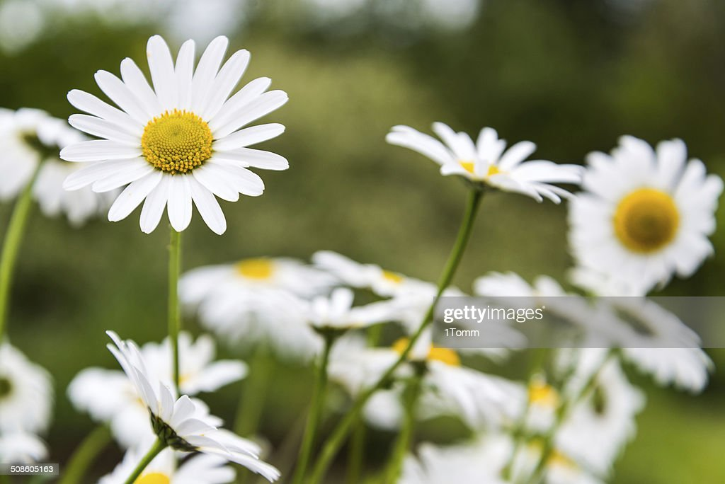 Meadow with marguerites in spring. : Stock Photo