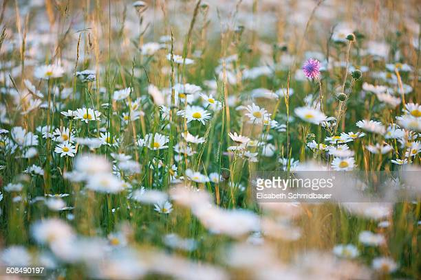 Meadow with oxeye daisies -Leucanthemum vulgare-, Ingolstadt, Bavaria, Germany, Europe