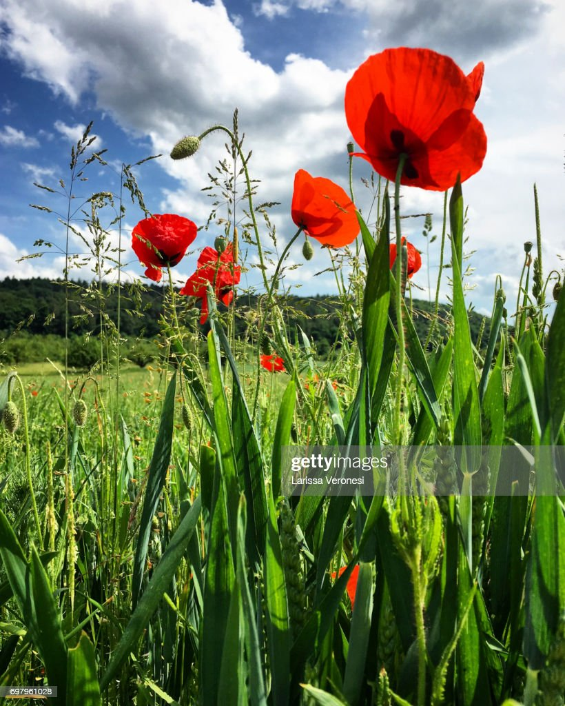 Meadow with poppies : Stock-Foto