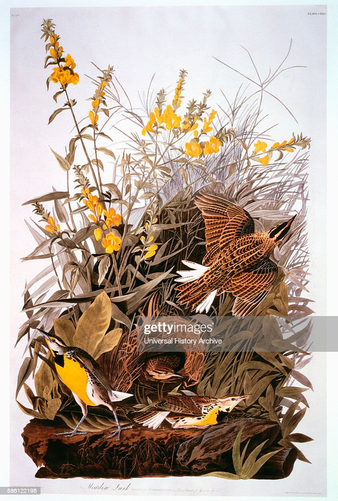 Meadowlark False Foxglove HandColored Etching from the Book 'The Birds of America' by George Lehman and John James Audubon circa 1830's