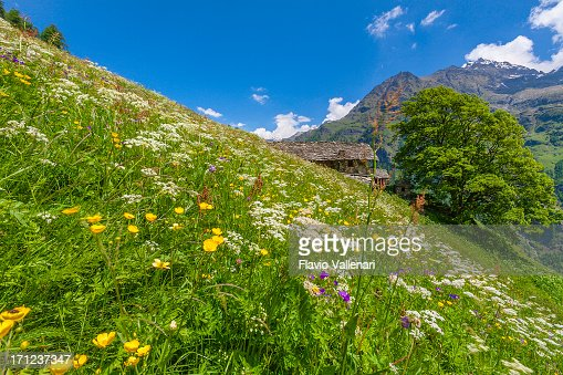 Meadows in flower, Gressoney Valley, Italy