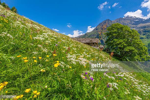 Meadows in flower, Gressoney Valley, Italy