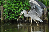 It is the heron which is going to swallow a bullfrog.