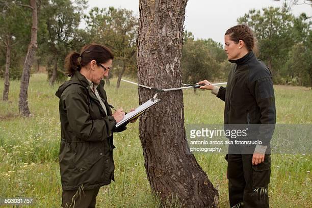 Measuring the Pine Tree