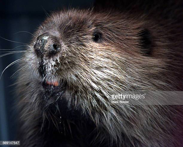 MEBeaverFace022599MB––––With a face than only a mother could love this young female beaver that was trapped at Lake Skinner looked out through the...
