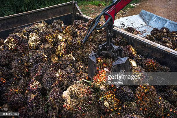 A mechanical arm places fallen harvested oil palm fruit in a container at the Sime Darby Bhd palm oil plantation in Pulau Carey Selangor Malaysia on...