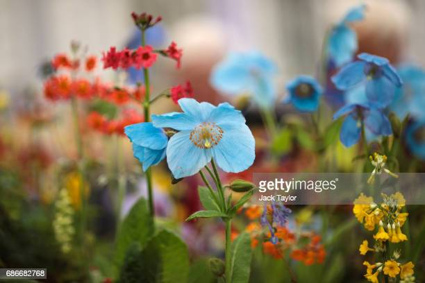 Meconopsis on display at the Chelsea Flower Show on May 22 2017 in London England The prestigious Chelsea Flower Show held annually since 1913 in the...