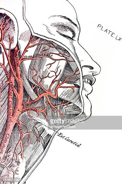A medical drawing from 'A System of Human Anatomy Including its Medical and Surgical Relations' illustrates the cardiovascular system of the human...
