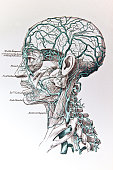 A medical drawing from 'A System of Human Anatomy Including its Medical and Surgical Relations' illustrates the veins of the human head 1883
