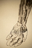 A medical engraving from 'A System of Human Anatomy Including its Medical and Surgical Relations' illustrates the autopsy of the human arm 1883 Major...