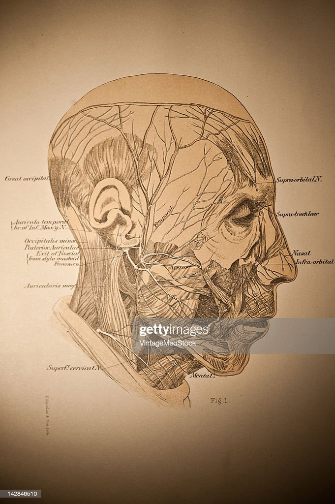 A medical engraving from 'A System of Human Anatomy Including its Medical and Surgical Relations' illustrates autopsy of the human faceViewers can...