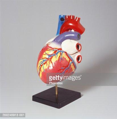 Medical heart model : Stock Photo