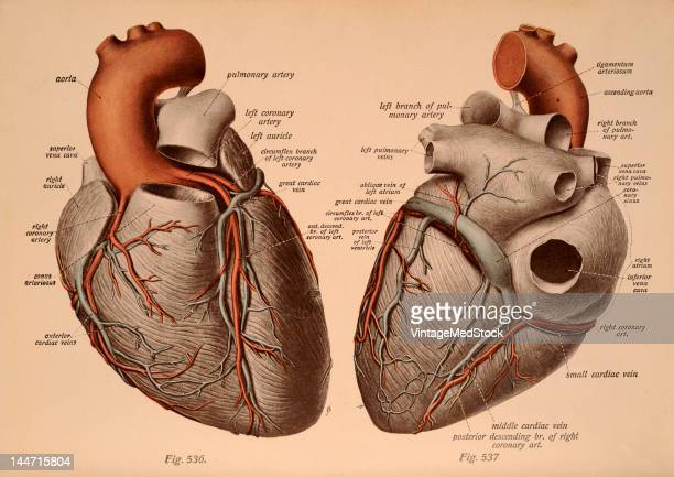A medical illustration from 'Atlas and Textbook of Human Anatomy' shows the arteries and veins as seen from the front 1911 A portion of the cornus...
