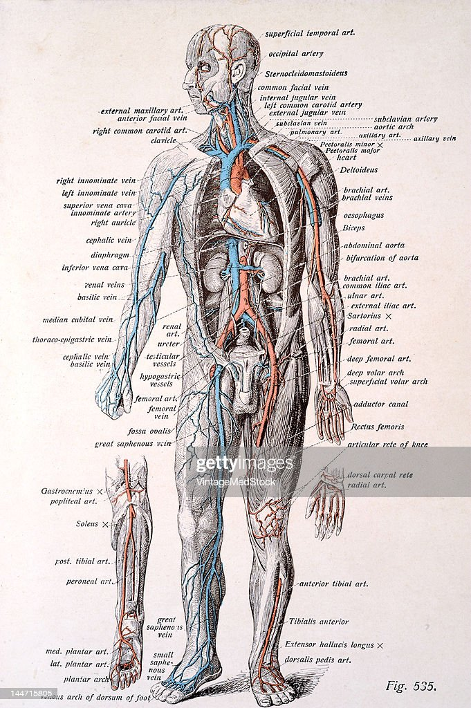 A medical illustration from 'Atlas and Textbook of Human Anatomy' shows the superficial blood vessels in the male 1911 The venous system is shown on...
