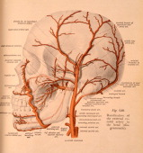 A medical illustration from 'Atlas and Textbook of Human Anatomy' shows ramification of the external carotid artery in the head 1911