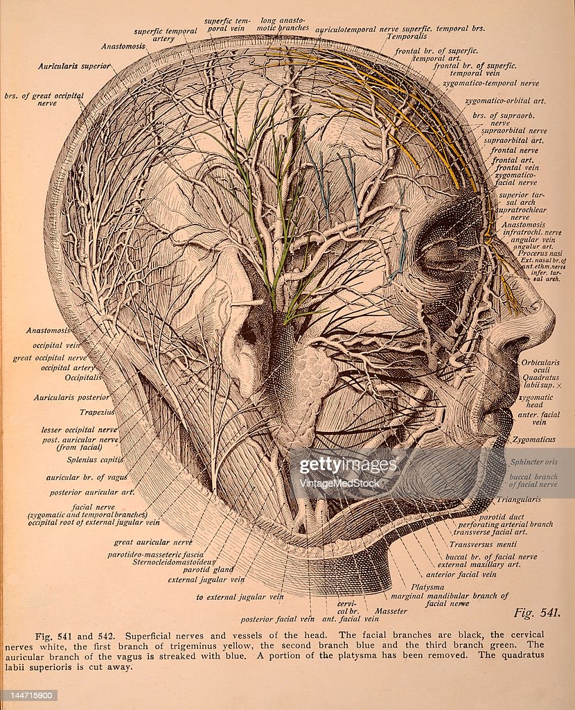 A medical illustration from 'Atlas and Textbook of Human Anatomy' shows the superficial nerves and vessels of the head 1911 The facial branches are...