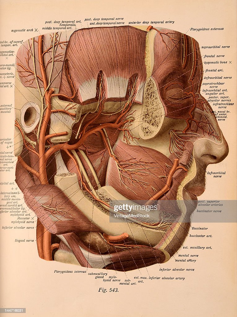 A medical illustration from 'Atlas and Textbook of Human Anatomy' shows the nerves and the vessels of the face 1911 The zygomatic arch and neck and...