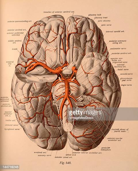 A medical illustration from 'Atlas and Textbook of Human Anatomy' shows the arteries of the base of the brain 1911 Upon the right side the tip of...
