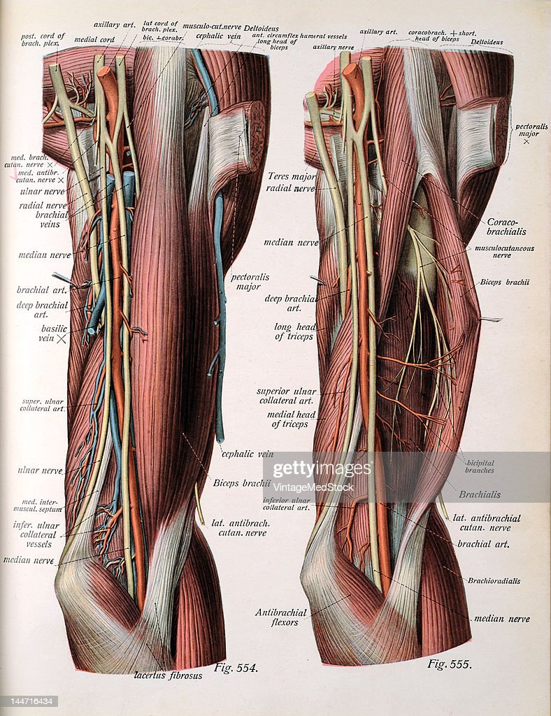 A medical illustration from 'Atlas and Textbook of Human Anatomy' shows on the right the nerves and vessels of the flexor surface of the upper arm...