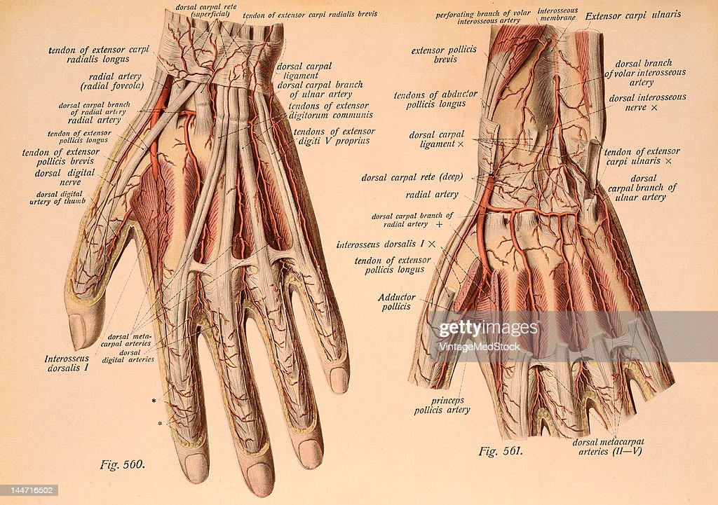 A medical illustration from 'Atlas and Textbook of Human Anatomy' shows on the right the arteries of the dorsum of the hand with fascia removed and...