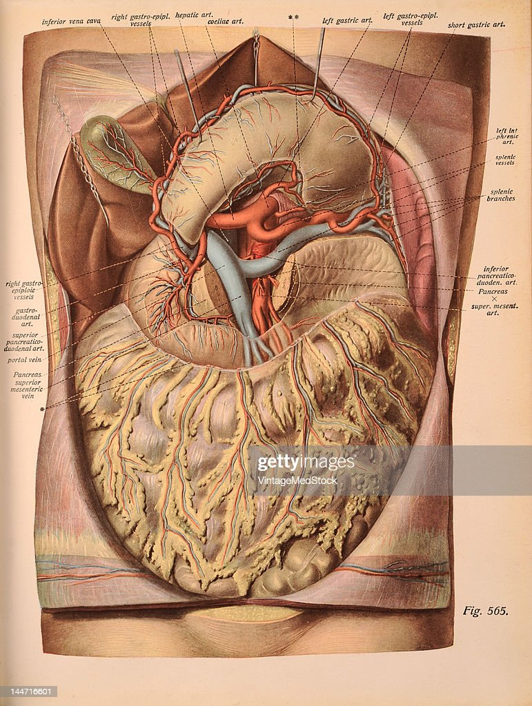A medical illustration from 'Atlas and Textbook of Human Anatomy' shows the branches of the coeliac artery and the origin of the portal vein 1911...