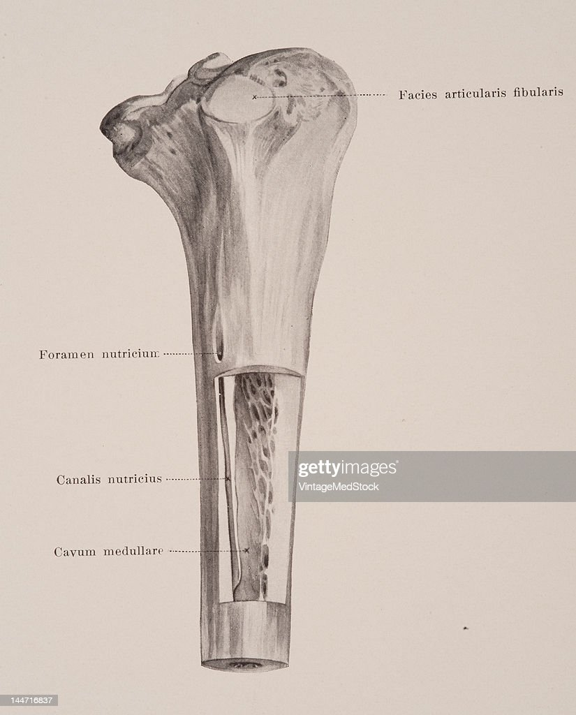 A medical illustration from 'HandAtlas of Human Anatomy volume 1' shows the proximal half of the right tibia of an adult viewed from the back and the...