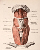 A medical illustration from 'HandAtlas of Human Anatomy volume 2' shows the musles of the muscles of the hyoid bone viewed from the front 1923