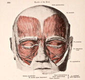A medical illustration from 'HandAtlas of Human Anatomy volume 2' shows the muscles of the head and face viewed somewhat from in front 1923