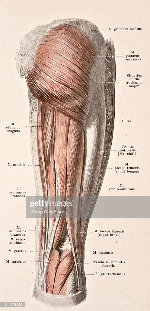 A medical illustration from 'HandAtlas of Human Anatomy volume 2' shows the right thigh view from the back 1923