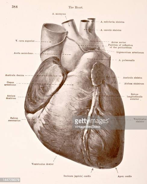 A medical illustration from 'HandAtlas of Human Anatomy volume 2' shows the heart 1923